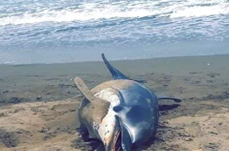 """أمواج البحر تلقي بجثة دلفين على شاطئ """"أصفيحة"""" بالحسيمة"""