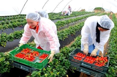 الشروع في تسجيل العاملات من الحسيمة لجني الفراولة بإسبانيا