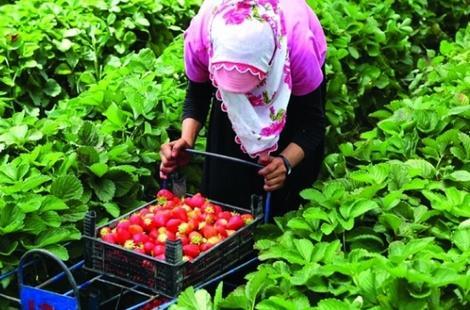 اسبانيا تتتعهد باتخاذ اجراءات جديدة لتحسين ظروف عمل المغربيات في حقولها