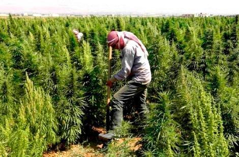 """الحكومة تتدارس تقنين زراعة """"الكيف"""" في المغرب"""