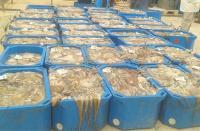 الحسيمة.. عمليات مكثفة لمحاربة الصيد الجائر وغير القانوني للأخطبوط