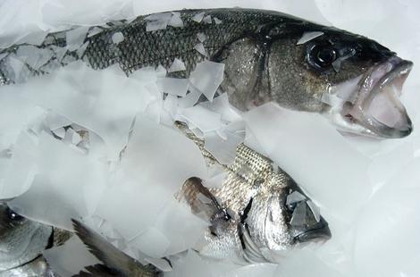 إغلاق وحدة لإنتاج الثلج بميناء الحسيمة يهدد تجار السمك بالإفلاس